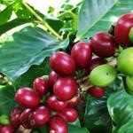 Nicaragua Coffee Cherry